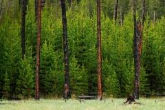 ssha-vaioming-ielloustonskii-natsionalnyi-park-les-derevia